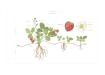 Poster-Tavla-Jordgubbe-Planta-Växt-Kunskapat