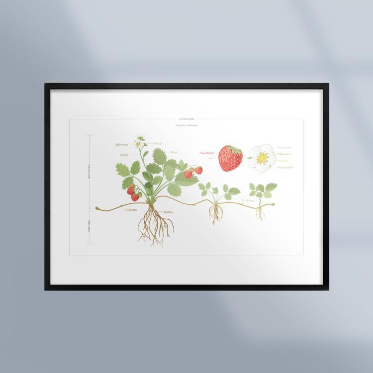 Poster-Tavla-Jordgubbe-Planta-Växt-Ram-Kunskapat