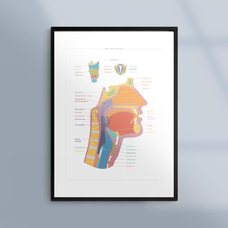 Poster-Tavla-Anatomi-Nasa-Svalg-Hals-Kunskapat