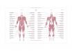 Poster-Tavla-Anatomi-Manniskan-Skelettmuskler-Kunskapat